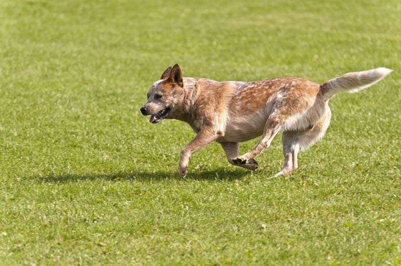 cachorro-boiadeiro-australiano
