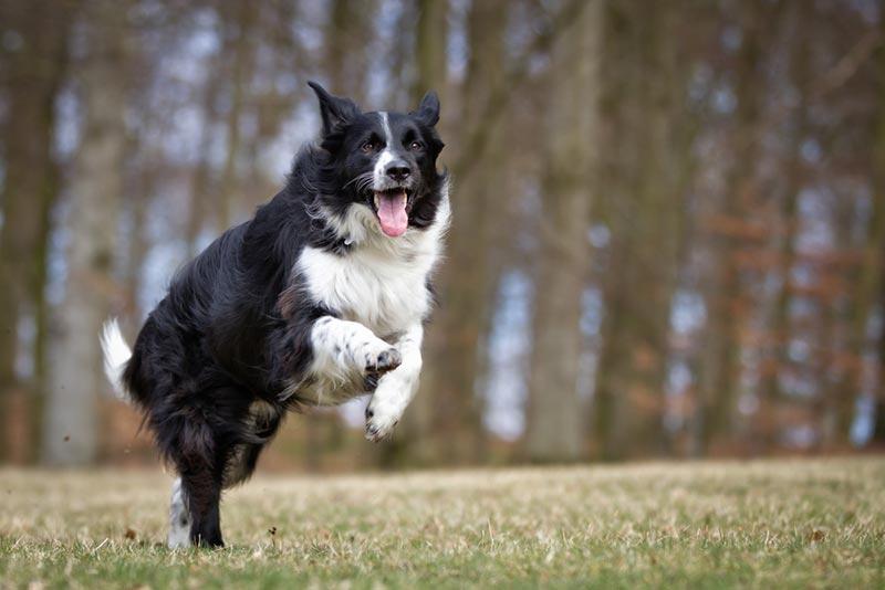 cachorro-border-collie