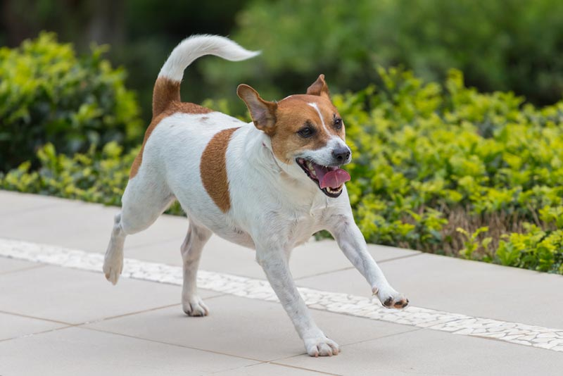 cachorro-jack-russell-terrier