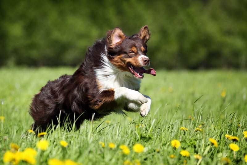 cachorro-pastor-australiano